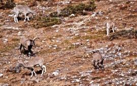 lue Sheep - a proud ram guarding his kittle herd