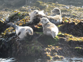 Seals and pups on Puffin Island